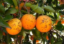 La Conselleria de Agricultura confirma la entrada de una nueva plaga importada y rechaza la 'permisividad europea' en materia comercial y de controles