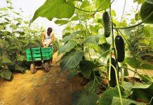Mercadona compra más de 21.300 toneladas de pepino de origen nacional para 2020 un 4% más que en 2019