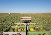 Mercadona prevé comprar 72.000 toneladas de melón de origen nacional para 2020