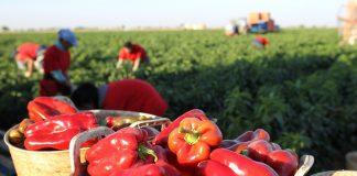 Mercadona prevé comprar 18.200 toneladas de pimiento rojo de origen nacional para la campaña 2020, un 17% más que en 2019